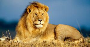 lr-lion