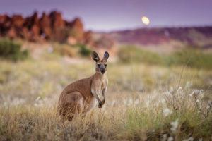 Australia-canguro